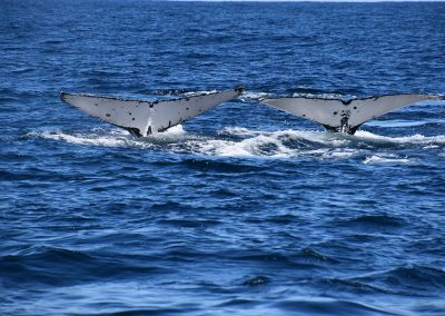 Whales in Coffs Harbour
