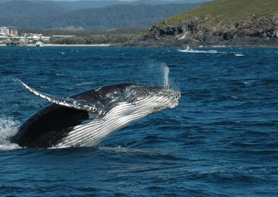Coffs Harbour Whale Watching